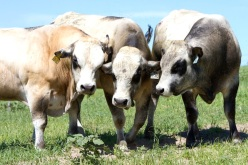 PIEDMONTESE CATTLE